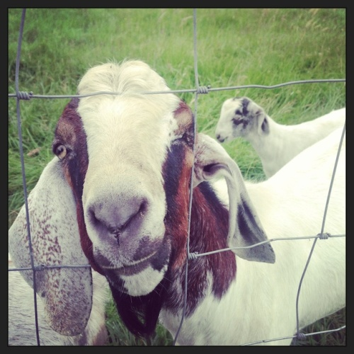 Goat at Feller House|Spoonwithme